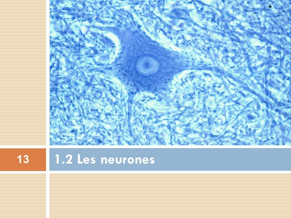1.2 Les neurones