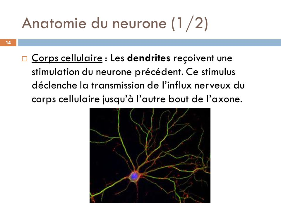 Anatomie du neurone (1/2)