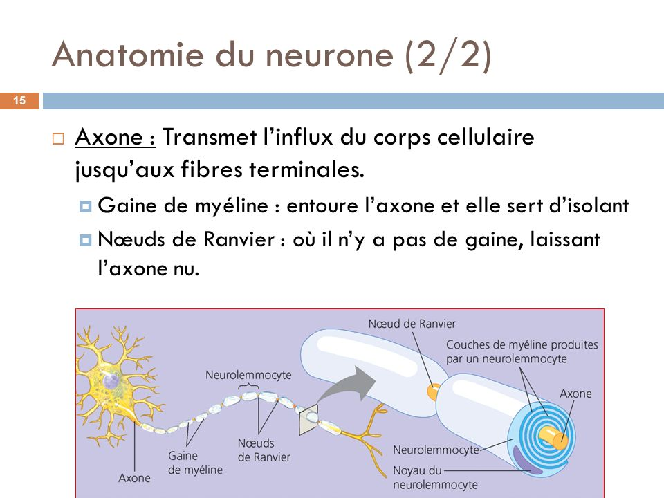 Anatomie du neurone (2/2)