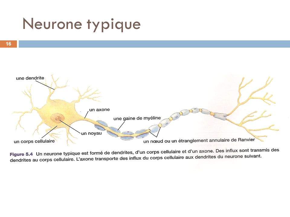 Neurone typique