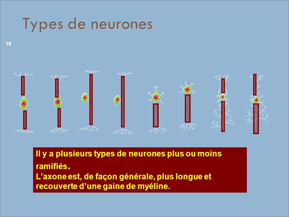 Types de neurones Il y a plusieurs types de neurones plus ou moins ramifiés.