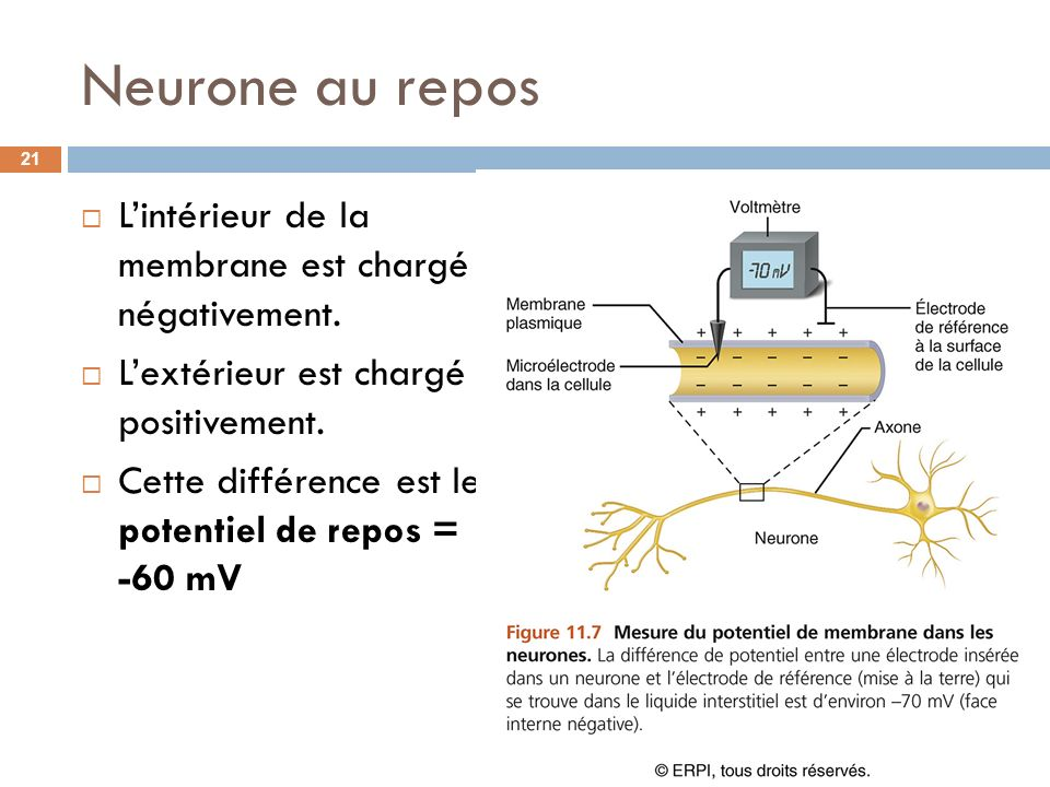 Neurone au repos L'intérieur de la membrane est chargé négativement.
