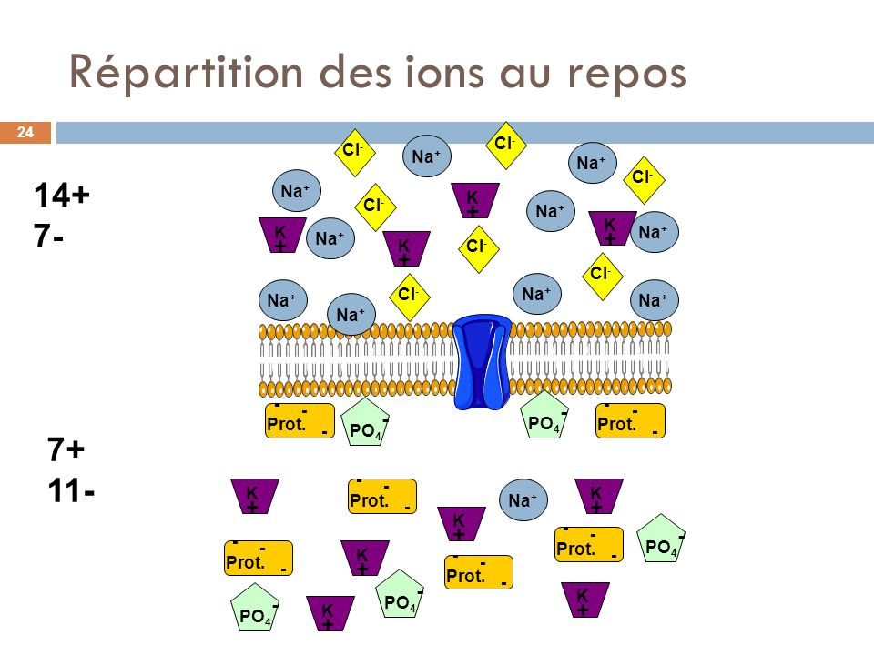 Répartition des ions au repos