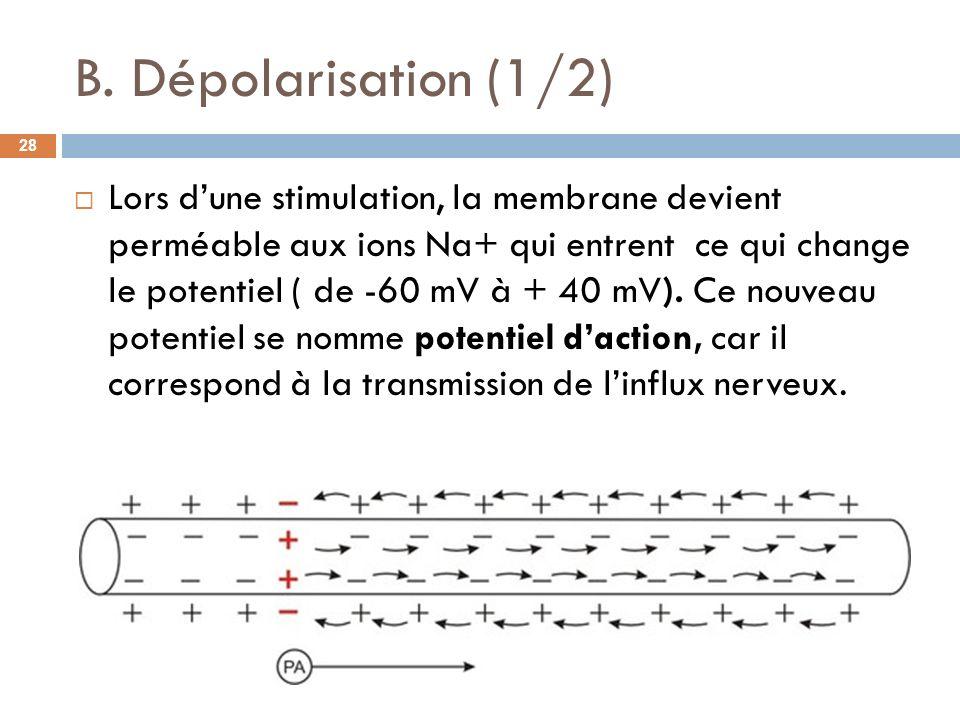B. Dépolarisation (1/2)