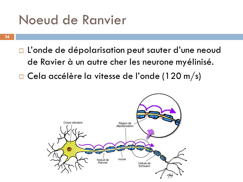 Noeud de Ranvier L'onde de dépolarisation peut sauter d'une neoud de Ravier à un autre cher les neurone myélinisé.