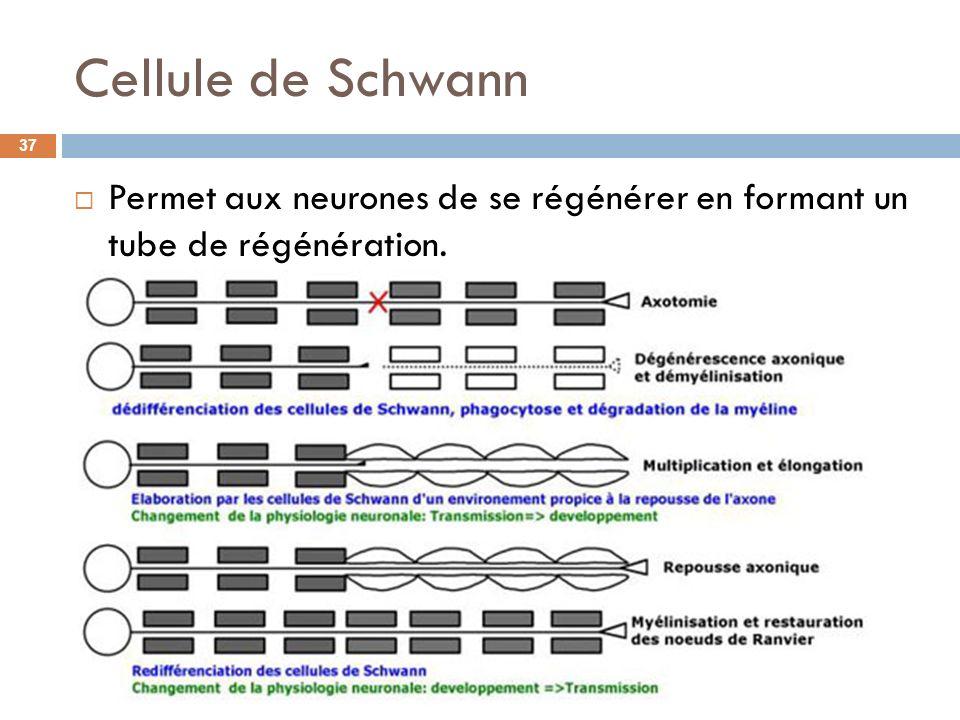 Cellule de Schwann Permet aux neurones de se régénérer en formant un tube de régénération.