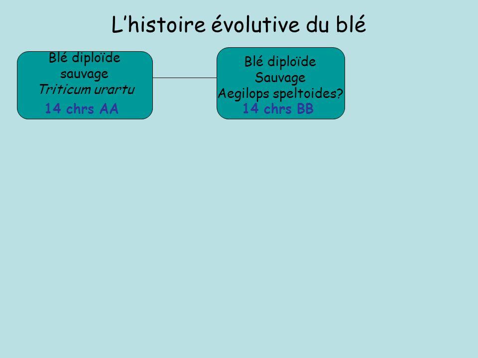 L'histoire évolutive du blé