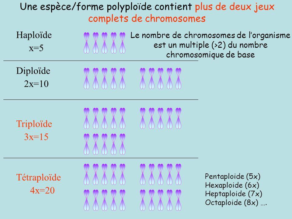 Une espèce/forme polyploïde contient plus de deux jeux complets de chromosomes
