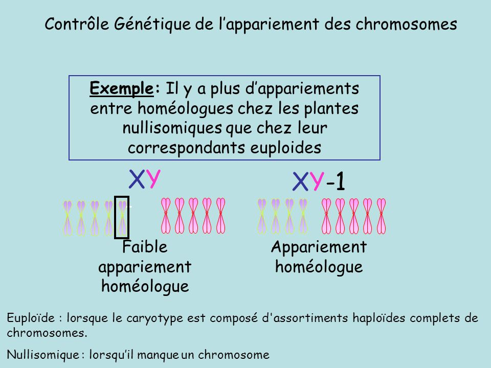 XY XY-1 Contrôle Génétique de l'appariement des chromosomes