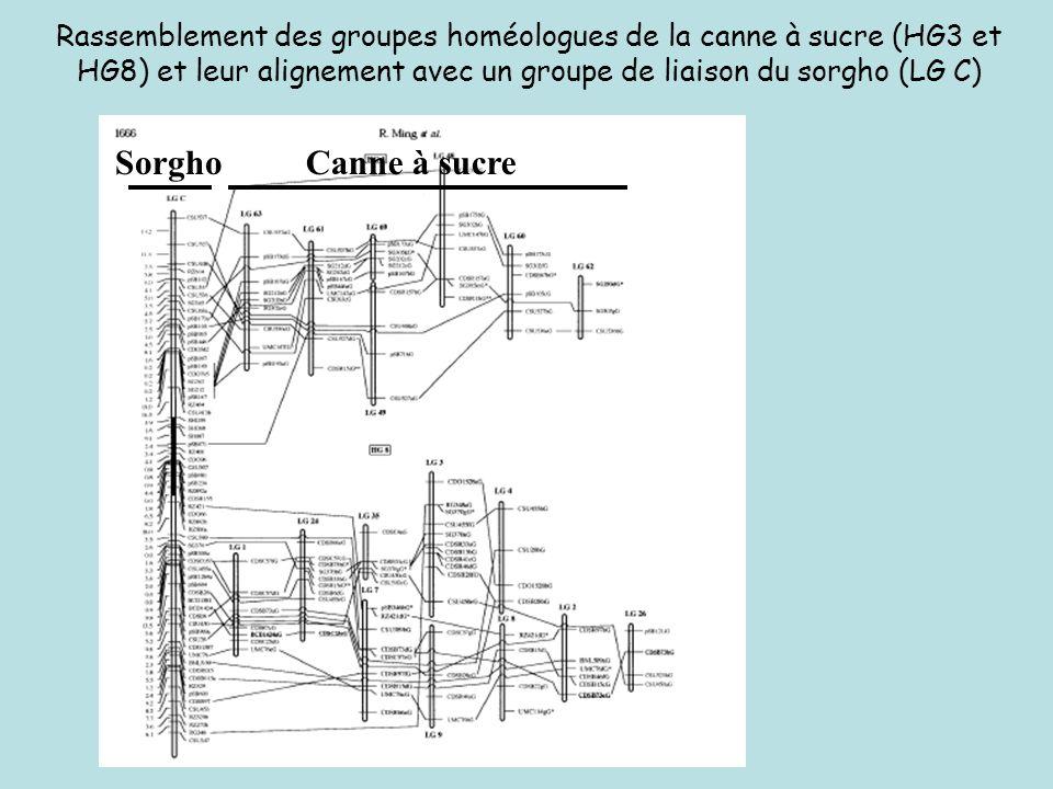 Rassemblement des groupes homéologues de la canne à sucre (HG3 et HG8) et leur alignement avec un groupe de liaison du sorgho (LG C)