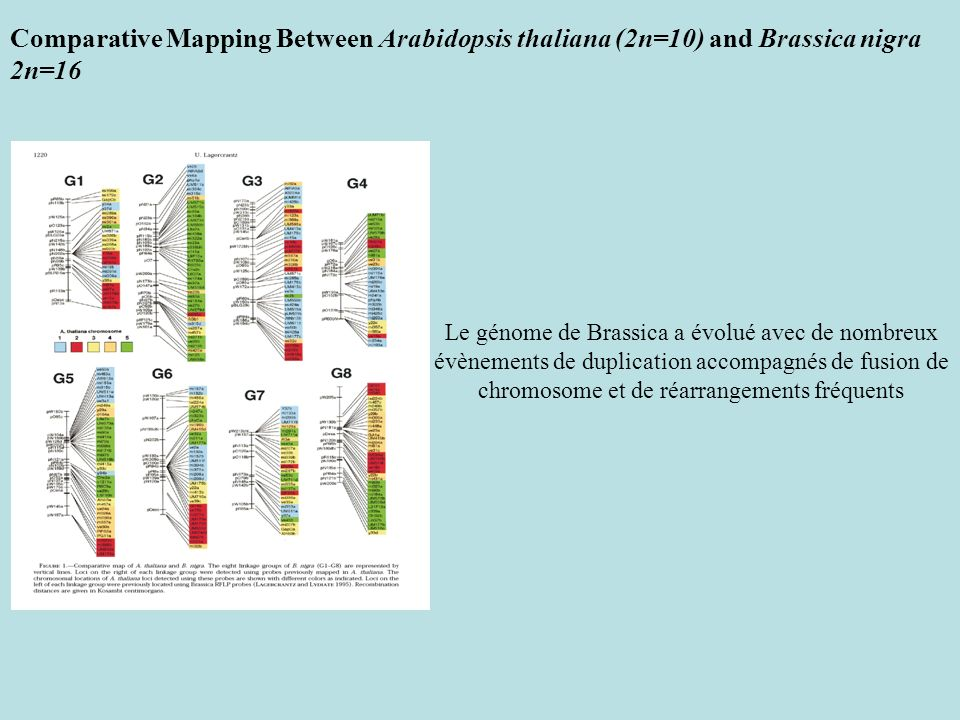 Comparative Mapping Between Arabidopsis thaliana (2n=10) and Brassica nigra 2n=16