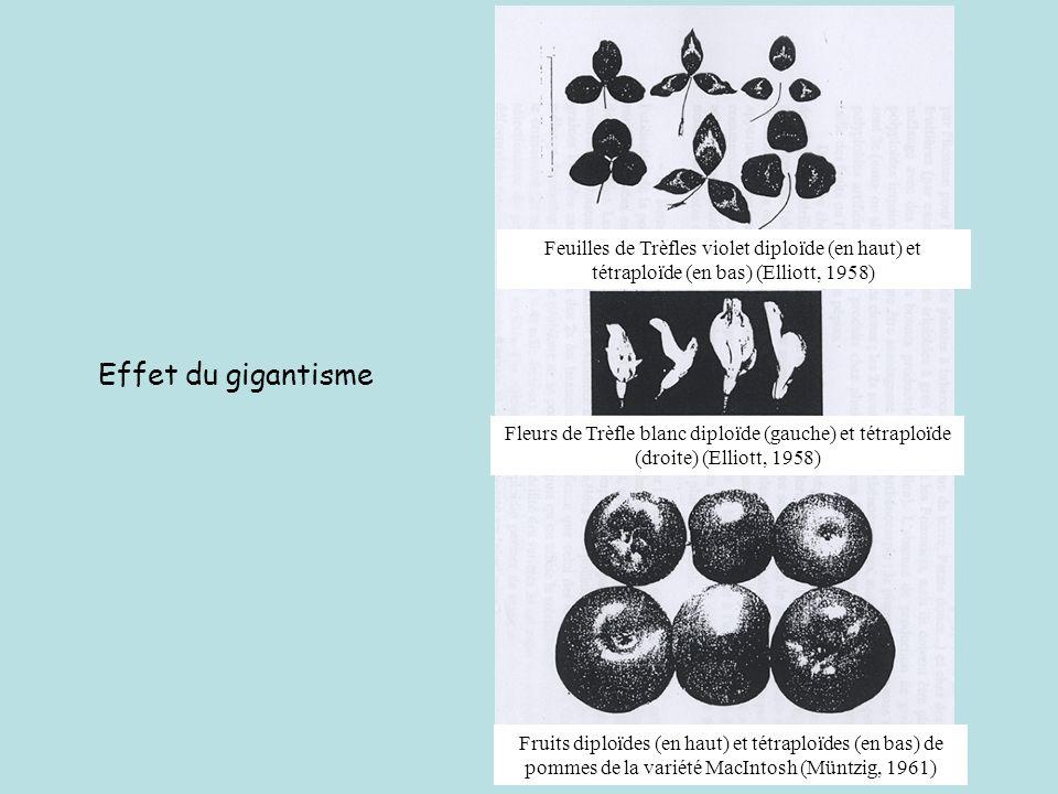 Feuilles de Trèfles violet diploïde (en haut) et tétraploïde (en bas) (Elliott, 1958)