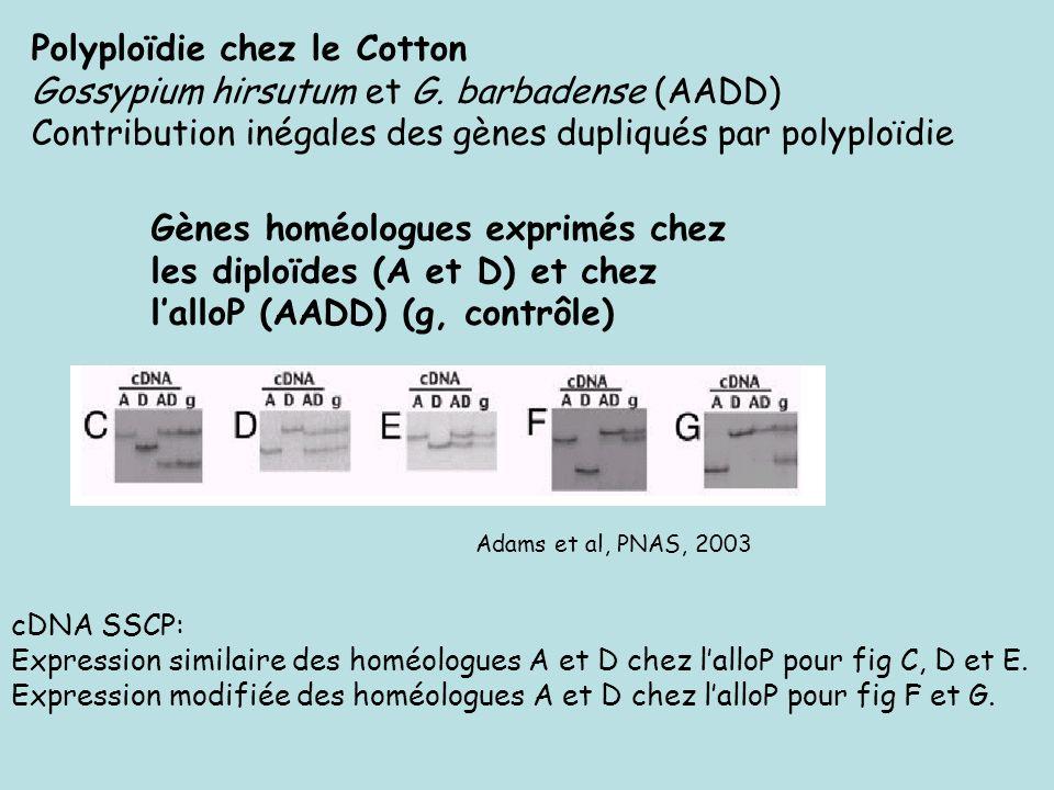 Polyploïdie chez le Cotton Gossypium hirsutum et G. barbadense (AADD)