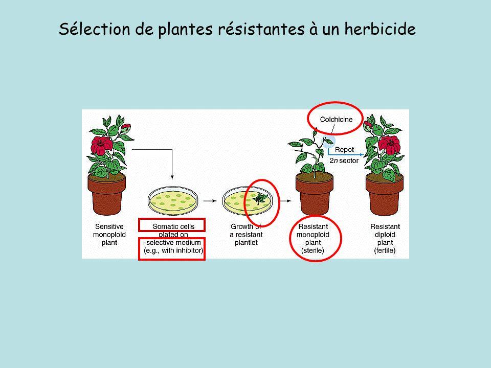 Sélection de plantes résistantes à un herbicide