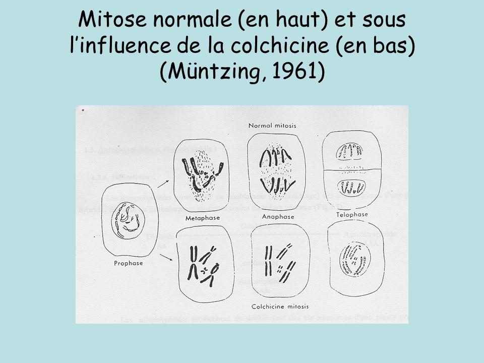 Mitose normale (en haut) et sous l'influence de la colchicine (en bas) (Müntzing, 1961)