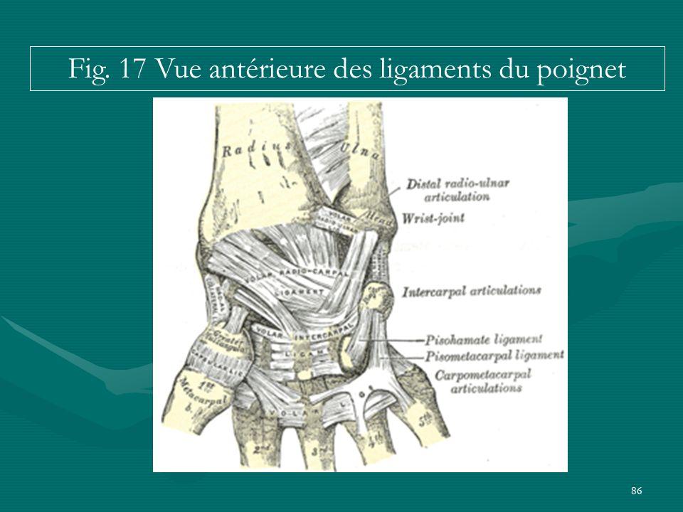 Fig. 17 Vue antérieure des ligaments du poignet