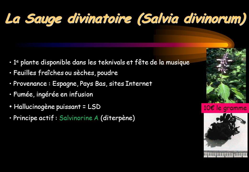 La Sauge divinatoire (Salvia divinorum)