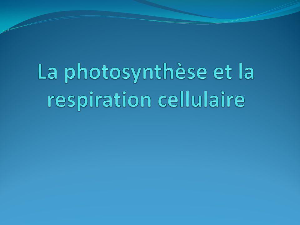 La photosynthèse et la respiration cellulaire