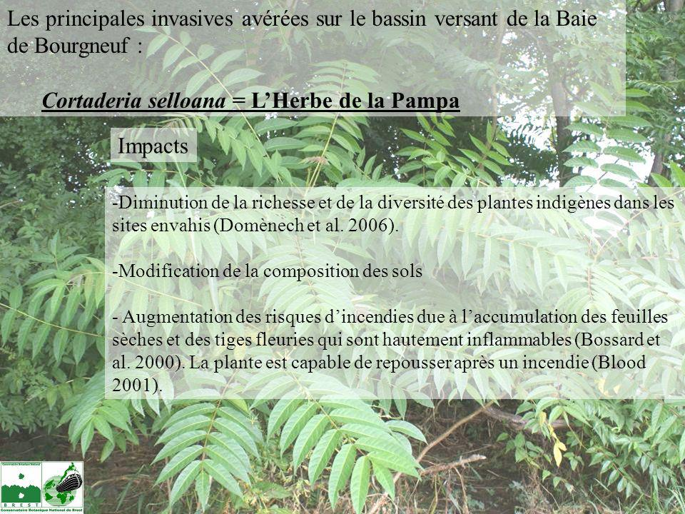 Cortaderia selloana = L'Herbe de la Pampa