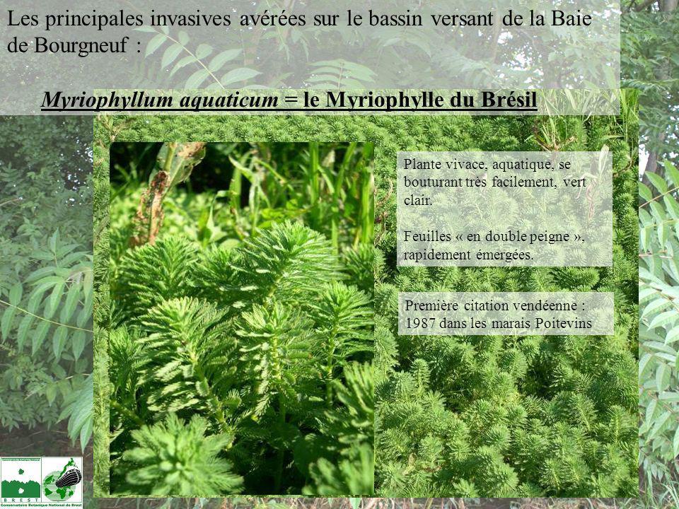 Myriophyllum aquaticum = le Myriophylle du Brésil