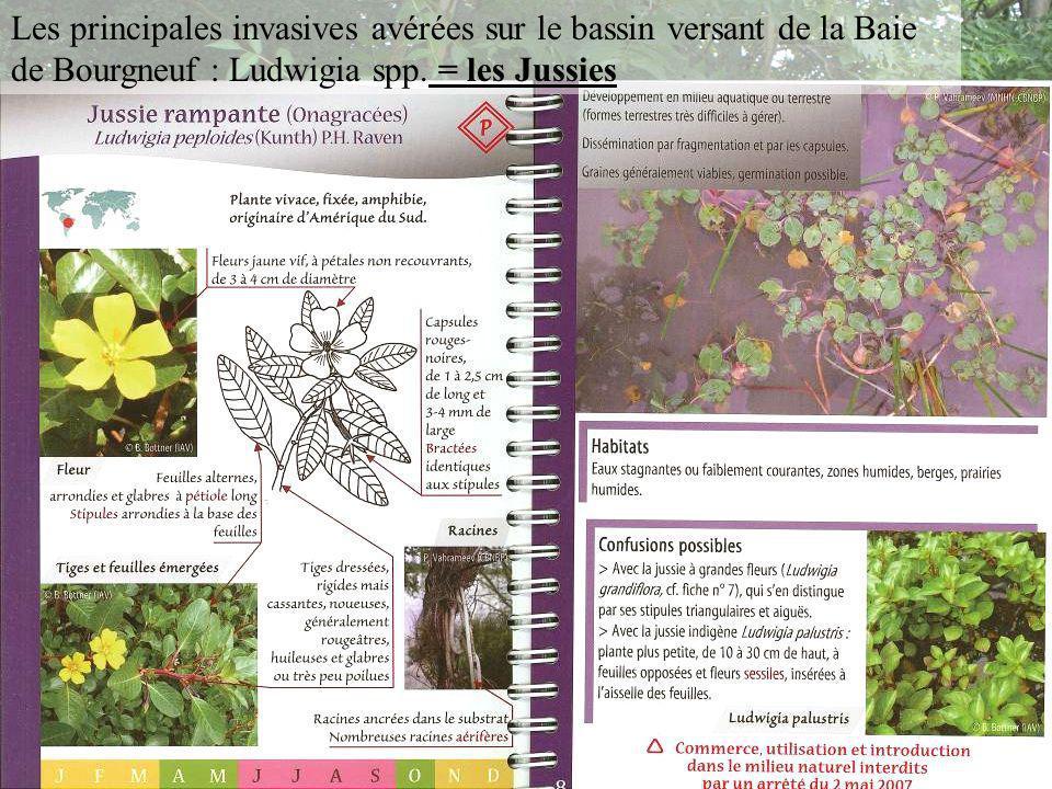 Les principales invasives avérées sur le bassin versant de la Baie de Bourgneuf : Ludwigia spp.