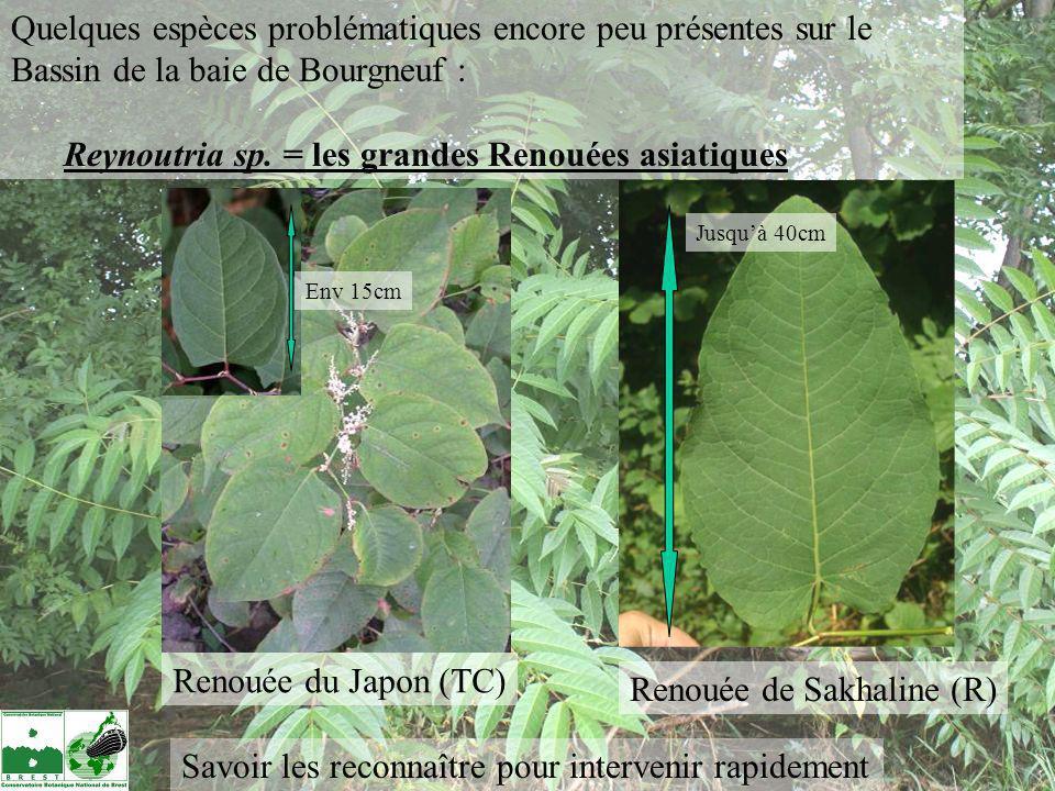 Reynoutria sp. = les grandes Renouées asiatiques