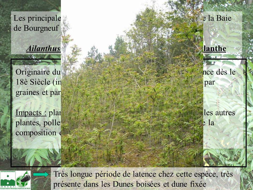 Ailanthus altissima = le faux-vernis du japon, l'Ailanthe