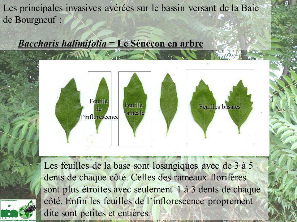 Baccharis halimifolia = Le Séneçon en arbre