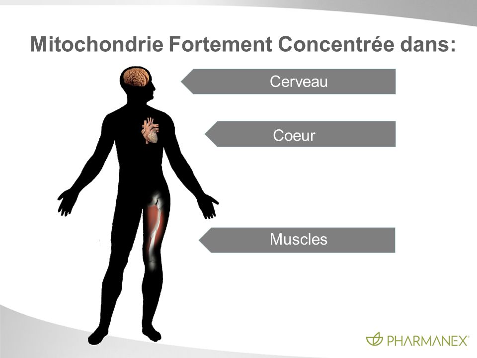 Mitochondrie Fortement Concentrée dans: