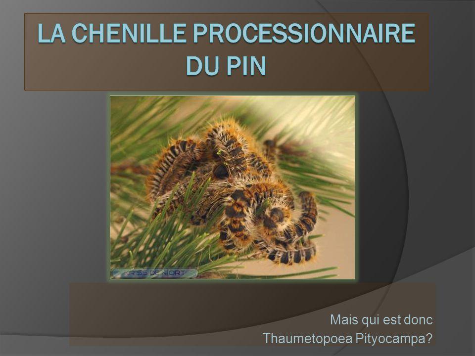 LA CHENILLE PROCESSIONNAIRE DU PIN