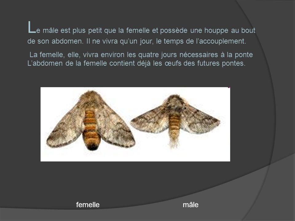 Le mâle est plus petit que la femelle et possède une houppe au bout de son abdomen. Il ne vivra qu'un jour, le temps de l'accouplement.