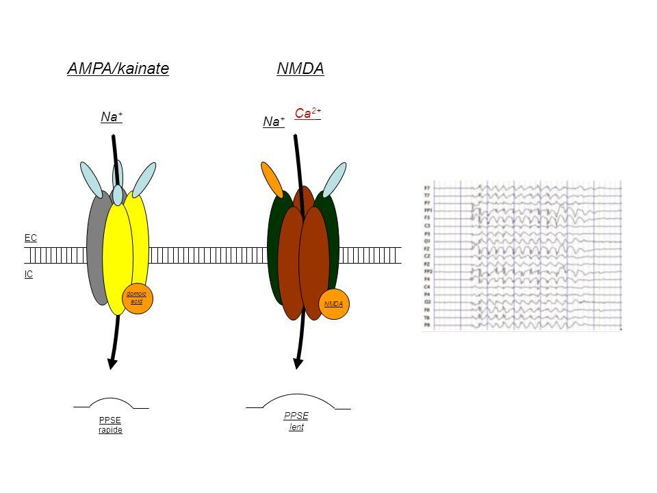 AMPA/kainate NMDA Ca2+ Na+ Na+ EC IC PPSE lent PPSE rapide domoic acid