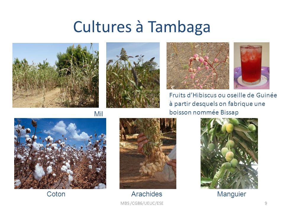 Cultures à TambagaFruits d'Hibiscus ou oseille de Guinée à partir desquels on fabrique une boisson nommée Bissap.
