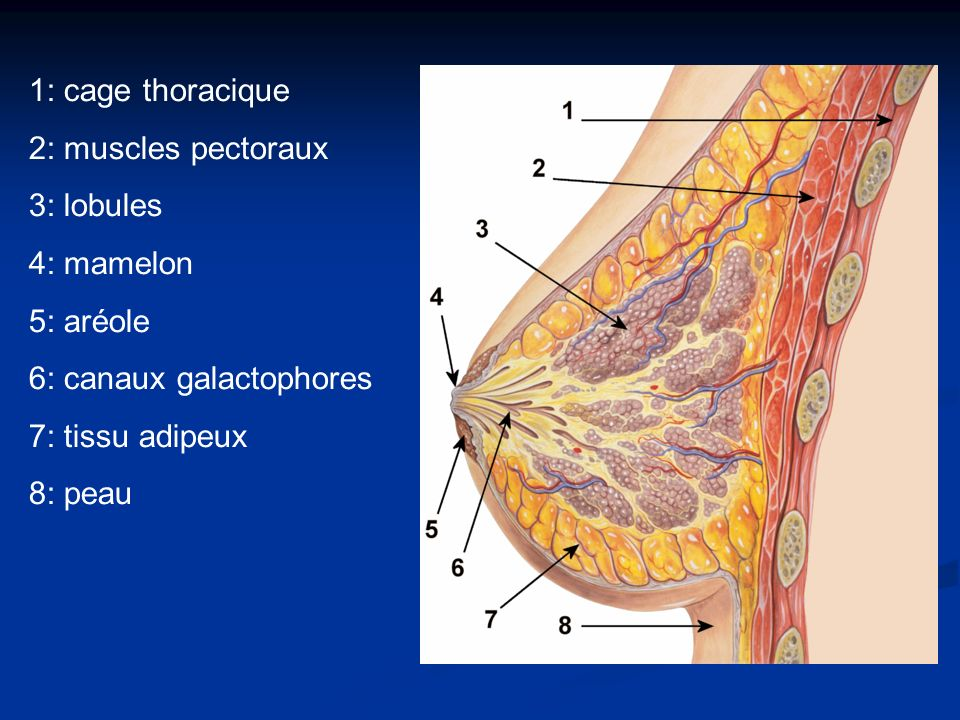 1: cage thoracique 2: muscles pectoraux. 3: lobules. 4: mamelon. 5: aréole. 6: canaux galactophores.