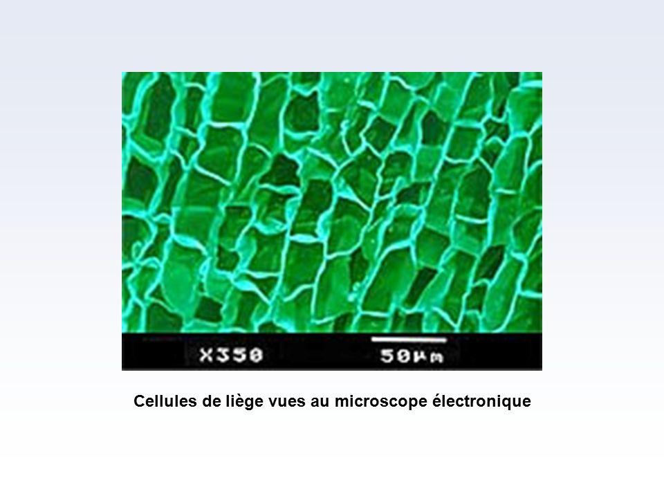 Cellules de liège vues au microscope électronique