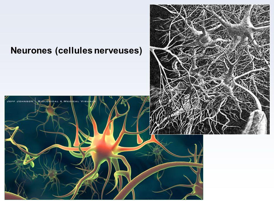 Neurones (cellules nerveuses)
