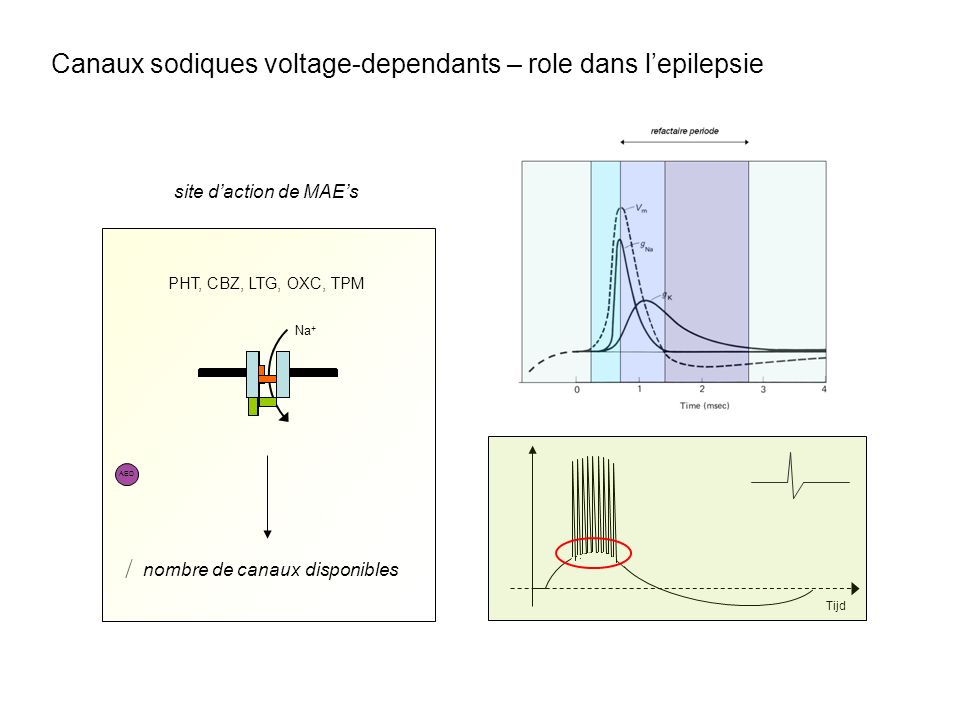 Canaux sodiques voltage-dependants – role dans l'epilepsie