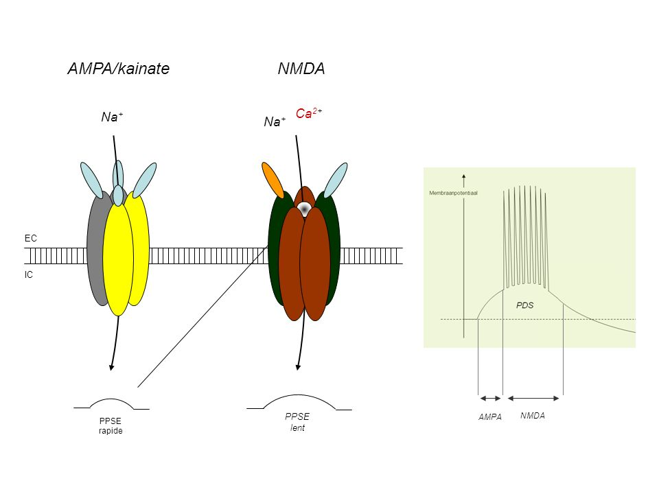 AMPA/kainate NMDA Na+ Ca2+ Na+ AMPA NMDA EC IC PPSE lent PPSE rapide