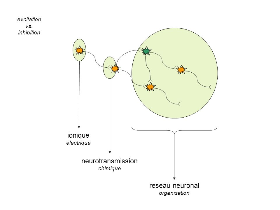 ionique neurotransmission reseau neuronal excitation vs. inhibition