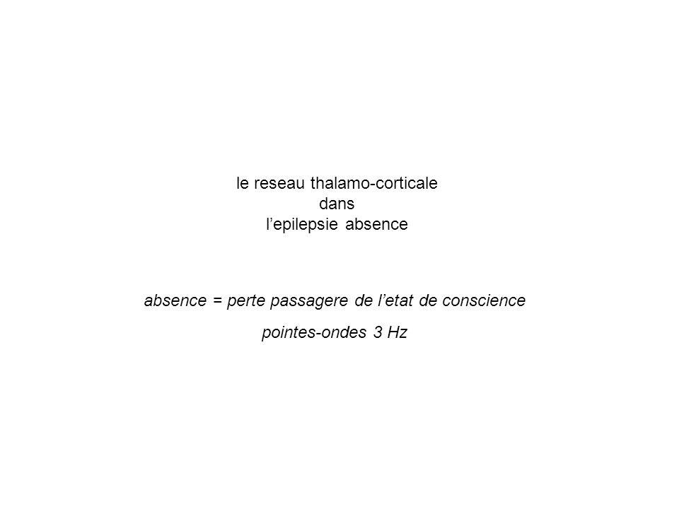 le reseau thalamo-corticale dans l'epilepsie absence