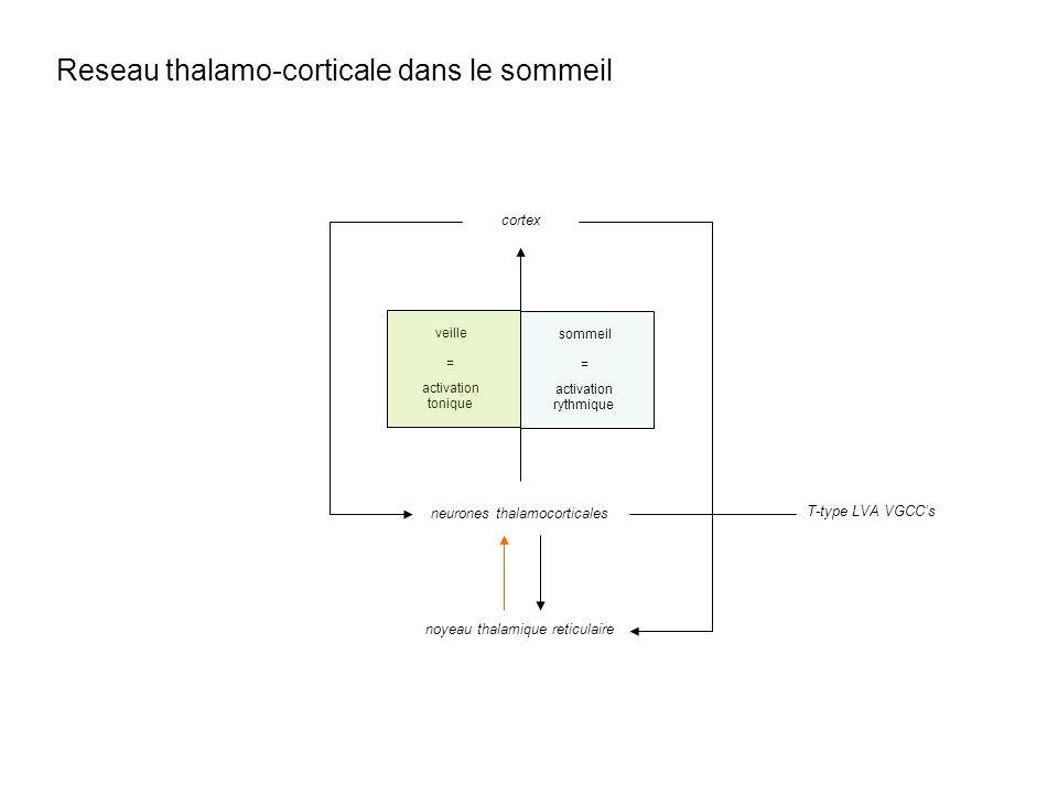 Reseau thalamo-corticale dans le sommeil