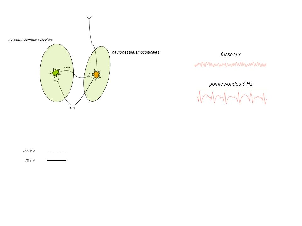 fusseaux pointes-ondes 3 Hz Cl- Ca2+ K+ Cl- neurones thalamocorticales