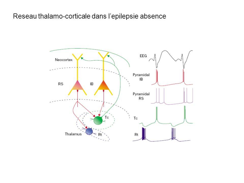 Reseau thalamo-corticale dans l'epilepsie absence