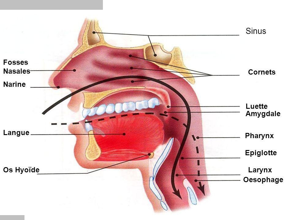 Sinus Fosses Nasales Cornets Narine Luette Amygdale Langue Pharynx
