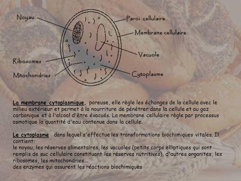 La membrane cytoplasmique, poreuse, elle règle les échanges de la cellule avec le milieu extérieur et permet à la nourriture de pénétrer dans la cellule et au gaz carbonique et à l alcool d être évacués.