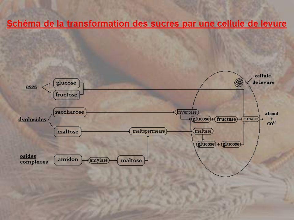 Schéma de la transformation des sucres par une cellule de levure