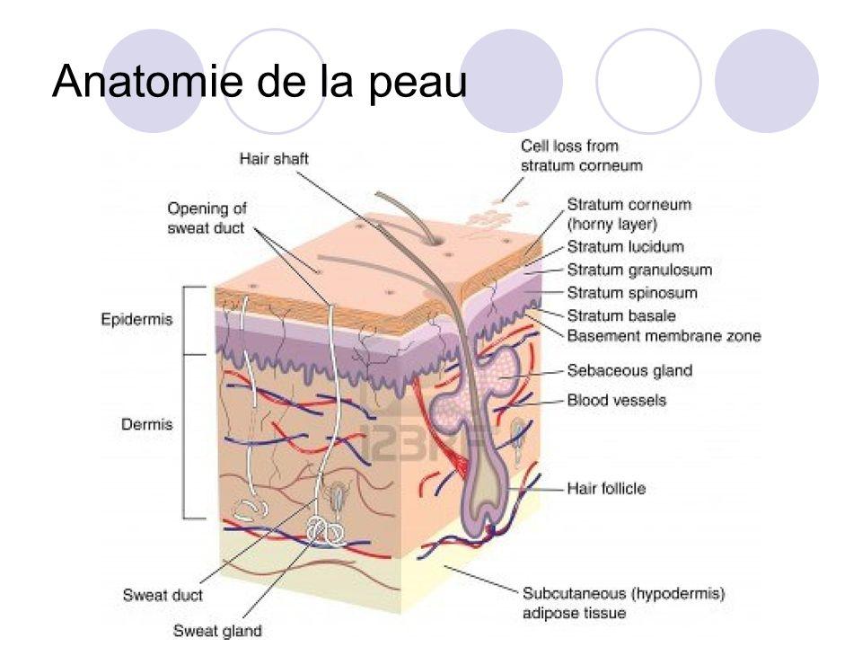 Anatomie de la peau http://fr.123rf.com/photo_11943434_coupe-transversale-de-la-peau-montrant-follicule-pileux.html.