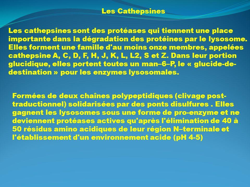 D gradation des prot ines voie du prot asome voie lysosome for Portent of degradation
