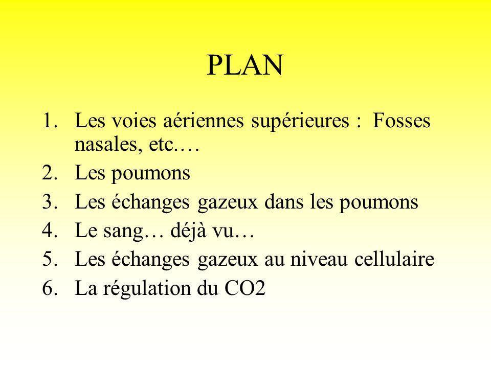 PLAN Les voies aériennes supérieures : Fosses nasales, etc.…