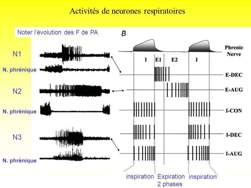Activités de neurones respiratoires